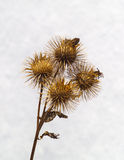 Fruits secs de Burdock Image stock