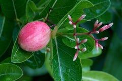 Fruits secs des carandas de carissa Image stock