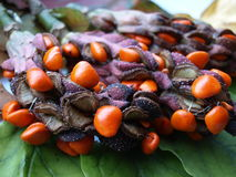 Fruits and seeds of magnolia.autumn fruits Stock Images