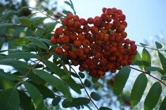 Fruits of Sorbus aucuparia against the sky. Fruits of Sorbus aucuparia against blue sky Royalty Free Stock Photography