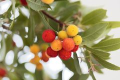 Fruits of a strawberry tree Arbutus unedo. Macro photo of fruits of a strawberry tree Arbutus unedo stock photography
