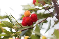 Fruits of a strawberry tree Arbutus unedo. Macro photo of fruits of a strawberry tree Arbutus unedo royalty free stock images
