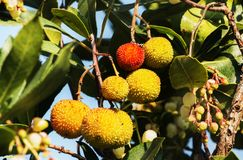 Fruits of strawberry tree. Beautiful fruits of strawberry tree or arbutus unedo tree ,the fruits are yellow and red with rough surface , bright sunny day stock images