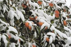 Fruits of sweet, orange persimmon under the first snow. royalty free stock images