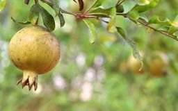 Fruits on a tree 0029 Stock Images