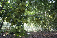 Fruits tree of Viet Nam Jackfruit Quả Mít Trai Mit. Jackfruit tree is a popular fruit of Vietnam. Jack fruit can be found anywhere from Northern to Southern Royalty Free Stock Photos