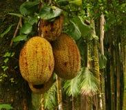 Fruits tropicaux Image stock