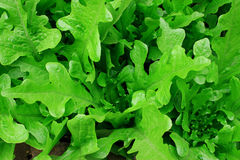 Fruits and vegetablens. Overhead is growing in the lettuce Stock Photos