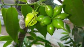 Fruits verts Photographie stock libre de droits