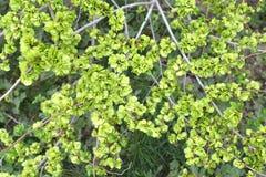 Fruits verts d'un pumila trapu L d'Ulmus d'orme , fond photo stock