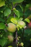Fruits verts de guirlande de coing japonais sur des branches d'un buisson Photos libres de droits
