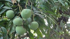 Fruits verts de mangue clips vidéos