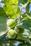 Fruits verts des pommes non mûres sur la branche de l'arbre Photo stock