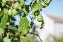 Fruits verts des prunes non mûres sur la branche de l'arbre Photos libres de droits