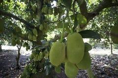 Fruits of Viet Nam Jackfruit Quả Mít Trai Mit. Jackfruit is a popular fruit of Vietnam Stock Photo