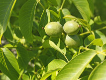 Fruits of walnut on a branch Royalty Free Stock Image