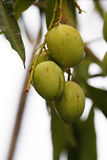 Fruits of a walnut tree. Royalty Free Stock Images