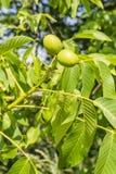 Fruits walnut. Two green fruits walnut (Juglans regia L., Persian walnut, English walnut Stock Images