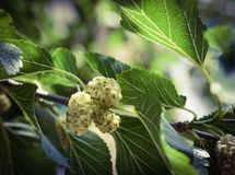 Fruits of a white mulberry Royalty Free Stock Photos