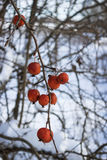Fruits wild Apple trees forest  winter on twig Royalty Free Stock Photo