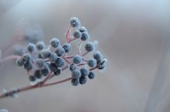 Fruits of wild berries in late autumn royalty free stock image