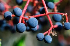 Fruits of wild grapes in the autumn garden, background. royalty free stock image