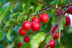 Fruits of wild plum. Royalty Free Stock Images