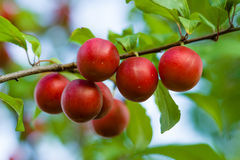 Fruits of wild plum. Royalty Free Stock Photos