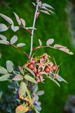 Fruits of wild rose on a long branch. Ripe rose hips among green foliage royalty free stock photos