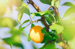 The fruits of the yellow plum hang on the branch of the tree. stock photography