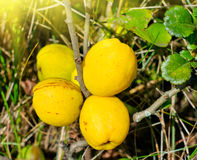 Fruits of the yellow Quinces. On the bushes royalty free stock image