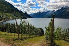 Fruittuinen op kusten van de Hardanger-fjord, Noorwegen stock afbeeldingen