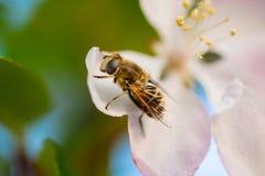 Fruitvlieg Royalty-vrije Stock Afbeeldingen