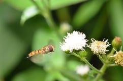 Fruitvliegje melanogaster Royalty-vrije Stock Afbeeldingen