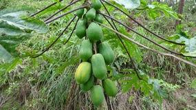 Fruity дерево папапайи со зрелой папапайей стоковая фотография