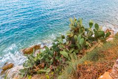 Fruity Cactus Seascape. Beautiful, large and full of life cactus in all its beauty in the Mediterranean blue clear sea water background royalty free stock photo