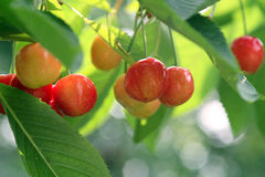 Fruity Cherries Stock Photos