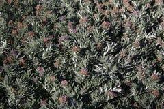 Fruity germander, Teucrium majoricum Stock Image