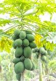 Fruity papaya δέντρα Στοκ εικόνα με δικαίωμα ελεύθερης χρήσης