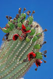 Fruity saguaro Royalty Free Stock Photos