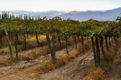 Fruity Wineyards of Cafayate in North Argentina Stock Image