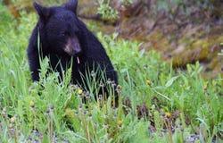 Frukost för en gröngöling för svart björn Royaltyfria Bilder