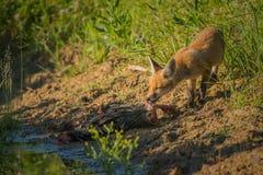 Frukost för röd räv Arkivbilder