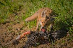 Frukost för röd räv Royaltyfri Bild