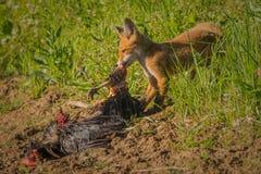Frukost för röd räv Royaltyfria Foton