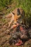 Frukost för röd räv Arkivfoto