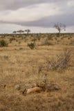 Frukost Tid för en gepardfamilj Royaltyfri Bild