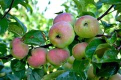 Fruktäpplen äppleträden som är siberian på filialer fotografering för bildbyråer