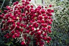 Frukt av arecaen gömma i handflatan Royaltyfri Foto