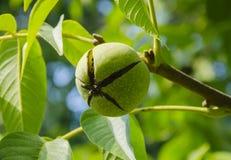 Frukt av en trädmutter Royaltyfri Fotografi